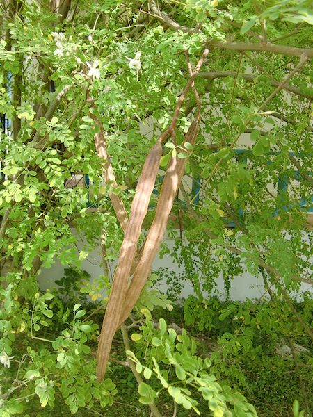 ../photo-moringa/CIMG0477.JPG